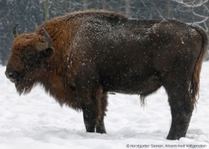Wisent Bulle