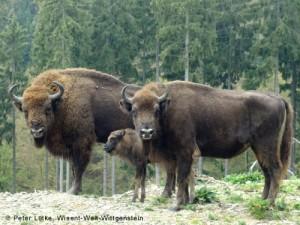 Wisent Familie im Rothaargebirge